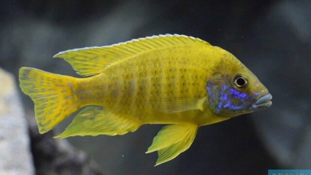 Aulonocara Baenschi - Fiche Poisson