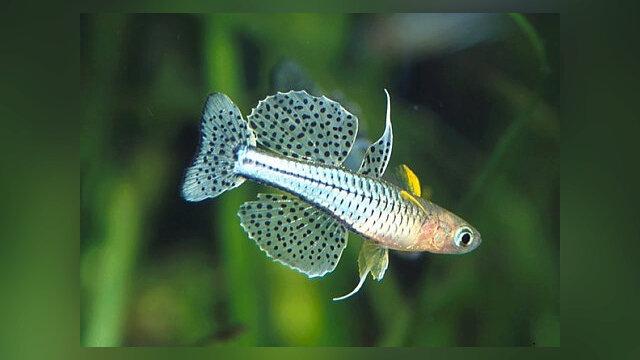 Main photo Pseudomugil gertrudae