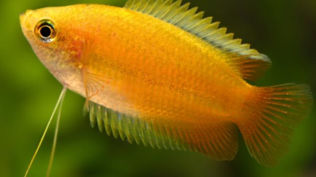 Main photo Gourami Miel - Fiche poisson