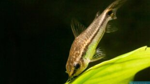 Corydoras pygmaeus-Fiche poisson