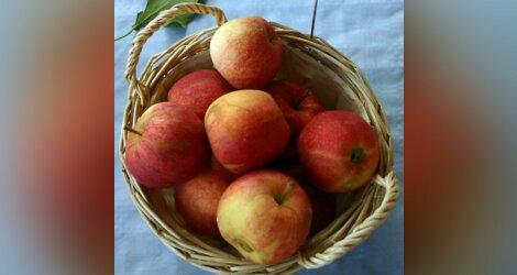 A Saint-Just (34): pomme-pomme-pomme-pomme!