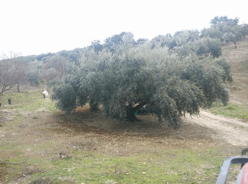 Picuda-Alga